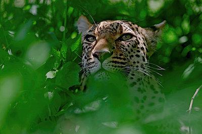 Leopard female - p884m863373 by Sergey Gorshkov photography