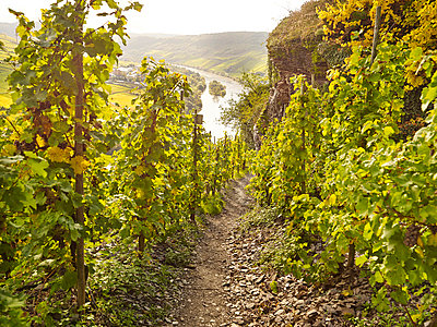 Vineyard and river Moselle - p885m865640 by Oliver Brenneisen