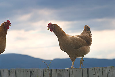 Two Chickens - p836m1492695 by Benjamin Rondel