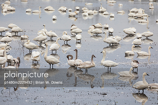 Tundra Swan flock and reflections on impoundment - p1480m2229492 by Brian W. Downs