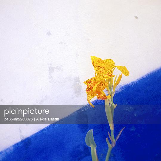 Iris - p1654m2289076 by Alexis Bastin