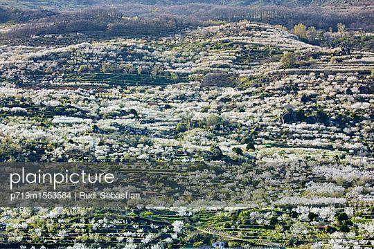 Cherry blossom in Jerte valley - p719m1563584 by Rudi Sebastian