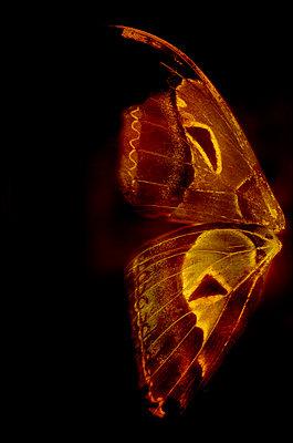 Atlas moth wings - p1028m2291029 by Jean Marmeisse