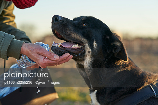 Black dog with brown and white spots drinking water from hand - p1166m2255236 by Cavan Images