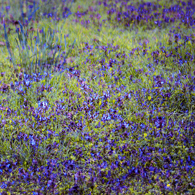 Blue blooming flowers, multiple exposure - p1640m2245901 by Holly & John