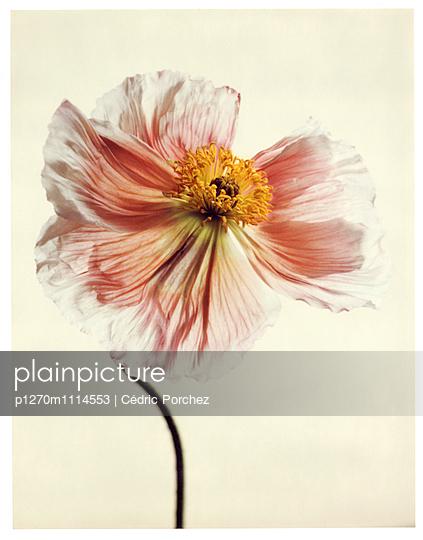Florescence of pink poppy flower - p1270m1114553 by Cédric Porchez