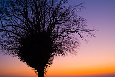 Silhouetted Winter Tree in Sunset Afterglow - p1562m2278118 by chinch gryniewicz