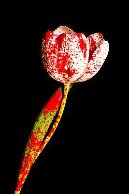 Weiße Tulpe mit roten Farbspritzern - p451m2164274 von Anja Weber-Decker