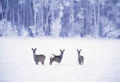 Deer standing in snowfield - p5752010f by Magnus Nyman