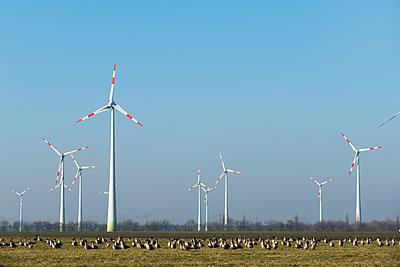 Wildgänse auf einem Feld dicht bei einem Windpark  - p739m1119416 von Baertels