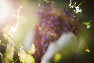 Grapes in backlit - p1150m2164102 by Elise Ortiou Campion