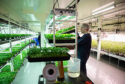 Grower checking cannabis seedlings in incubation - p1192m2073888 by Hero Images