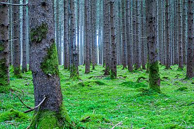 Wald mit Moos - p1466m2289423 von Stefanie Giesder