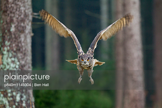Eagle owl in flight through forest, Czech Republic, November. Captive. - p840m1149304 by Ben  Hall