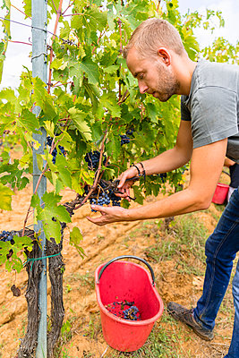 Man harvesting red grapes in vineyard - p300m2140627 by Giorgio Magini