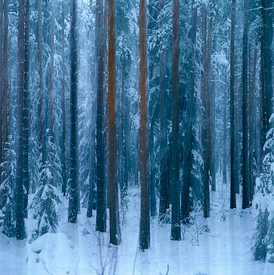 A forest in the winter. - p5750069 by Benny Karlsson