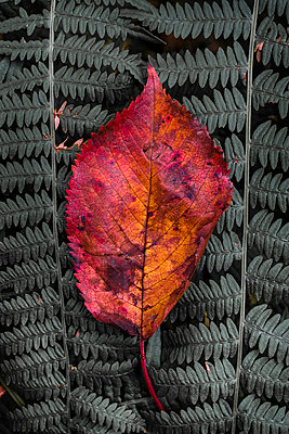 Red leaf on fern leaf - p1228m2013353 by Benjamin Harte