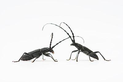 Longhorn beetle, Cerambycidae - p1437m2057045 by Achim Bunz