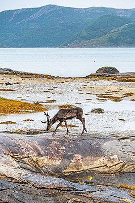 Reindeer searching for food at Kystriksveien, Norway  - p300m2286824 by Michael Runkel