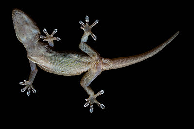 View from below gecko on black background - p301m2039712 by Tobias Titz
