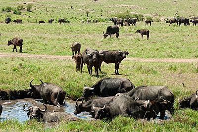 A flock of buffalos - p5330265 by Böhm Monika