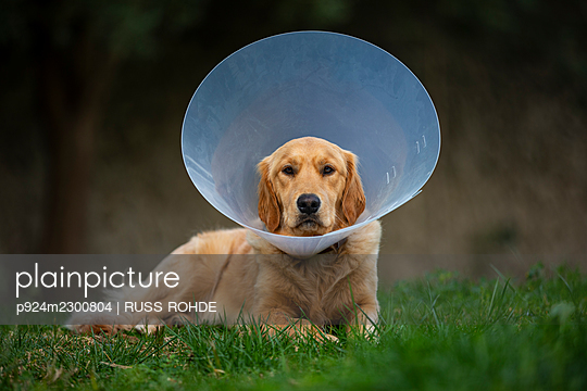 Spain, Mallorca, Golden retriever wearing protective collar lying on grass - p924m2300804 by RUSS ROHDE