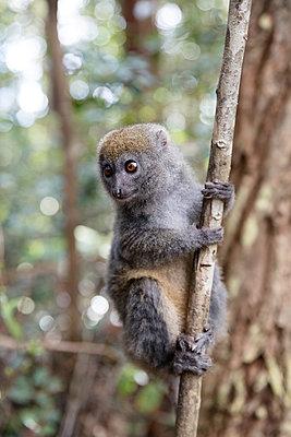 Lemur im Baum - p1272m1515599 von Steffen Scheyhing