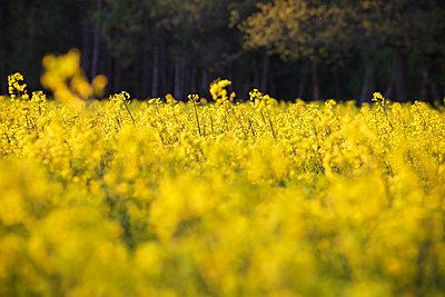 Rape field - p1685m2278357 by Joy Kröger