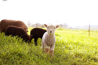 One white lamb - p1106m886284 by Angela DeCenzo