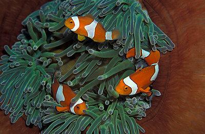 Clownfish in anemone, Amphiprion percula. Underwater/Papua New Guinea. - p3435366 by Jurgen Freund