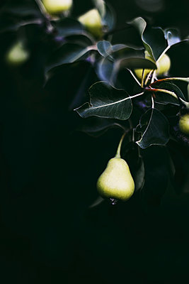Pear on the tree - p1166m2111594 by Cavan Images