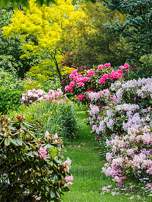 Australia, New South Wales, Katoomba, Garden with green trees and rhododendron bushes - p1427m1553660 by WalkerPod Images