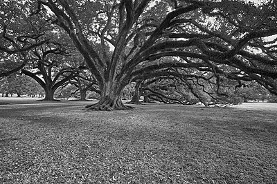 Old trees in a park, Louisiana, USA - p1686m2288541 by Marius Gebhardt