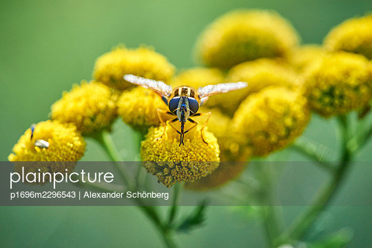 Bee on a yellow flower - p1696m2296543 by Alexander Schönberg