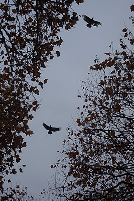 Crows - p1028m1502310 von Jean Marmeisse