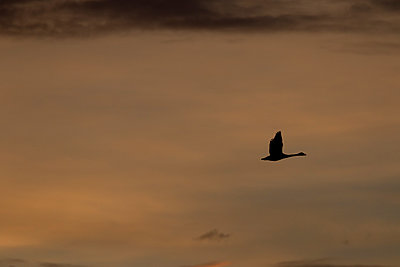 Tundra Swan silhouette backlight by the sunrise - p1480m2148210 by Brian W. Downs