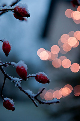 Christmas mood in the garden - p533m1225514 by Böhm Monika