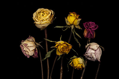 Wilted roses - p971m1203266 by Reilika Landen