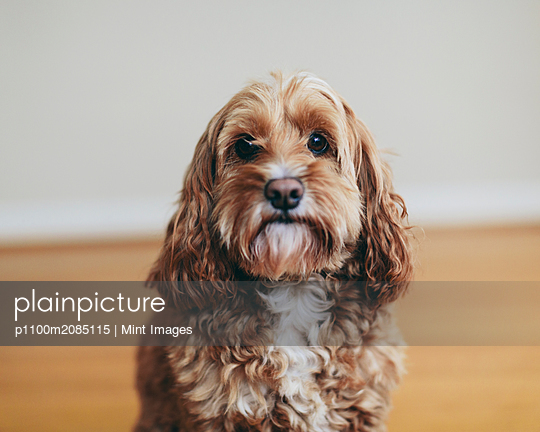 A cockapoo mixed breed dog, a cocker spaniel poodle cross, a family pet with brown curly coat - p1100m2085115 by Mint Images