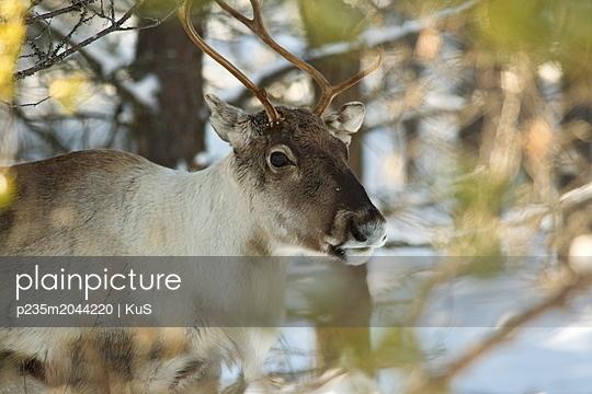 Portrait eines Rentiers im Winterwald - p235m2044220 von KuS