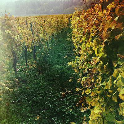 Germany, Rhineland-Palatinate, vineyards - p300m1009060f by Gaby Wojciech
