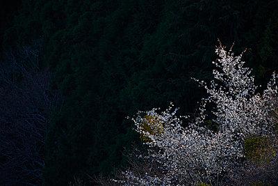 Blooming cherry blossoms at Mount Yoshino, Nara Prefecture, Japan - p307m1495893 by MATSUO.K