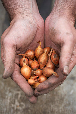 Baby onions in hands - p429m712216f by Danielle Wood