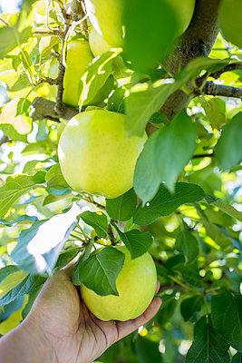 Picking Apples - p535m947667 by Michelle Gibson