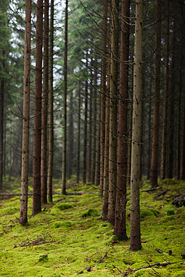 Scandinavian Peninsula, Sweden, Skåne, View coniferous trees in forest - p5755505f by Peter Rutherhagen