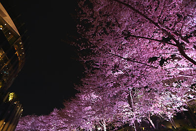Cherry blossoms - p307m1174661 by Score. by Aflo