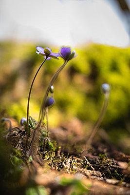 Blue anemones - p1418m1571978 by Jan Håkan Dahlström