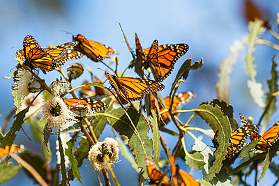 Monarch Butterflies (Danaus plexippus) sitting on leaves, Pismo Beach, California, United States of America - p442m1580467 by David Hoffmann Photography