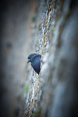 Wild Dove sits in the City wall - p533m2044329 by Böhm Monika