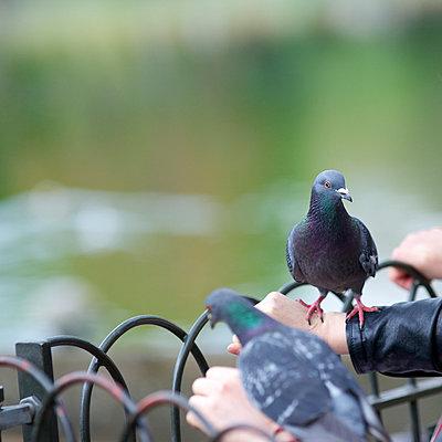 Gentle doves - p606m938046 by Iris Friedrich
